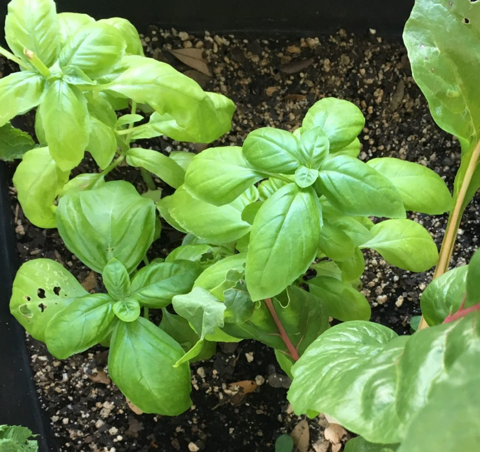 fresh basil growing in pot
