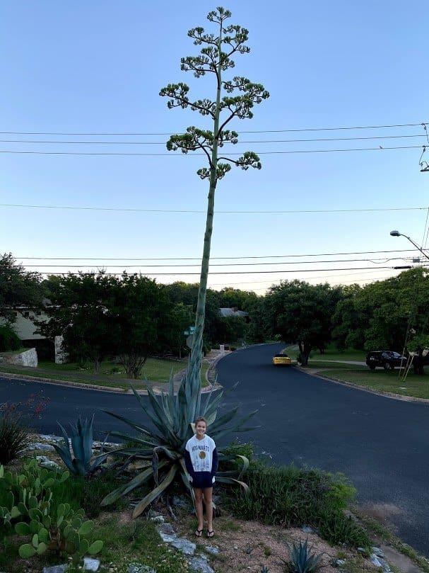 century plant in bloom